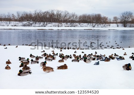 Birds resting on the ice in the winter - stock photo
