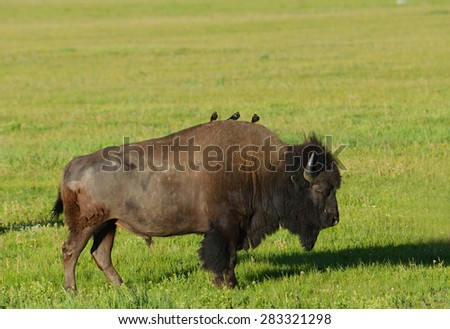 Birds ride on an adult Bison's back. - stock photo