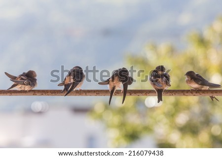 Birds (Swallows) on a crossbar in the nature - stock photo