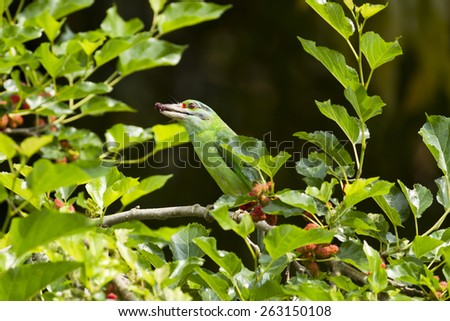 Birds that are feeding on the tree with ripe lace, Blue-throated Barbet (Megalaima asiatica),Bird of thailand - stock photo