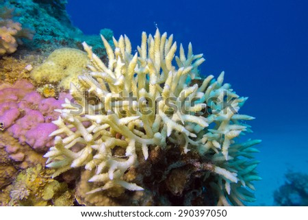 Birdsnest Coral on the coral reef at the bottom of tropical sea, underwater - stock photo