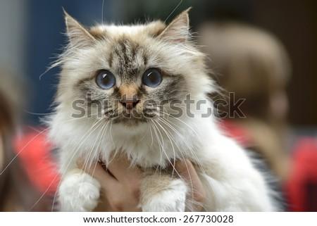 Birman cat being held at cat show - stock photo