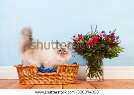 Birman cat in basket at the floor - stock photo