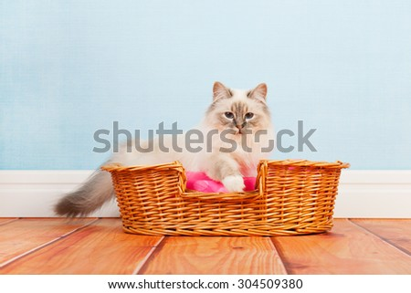 Birman cat in basket at the floor - stock photo