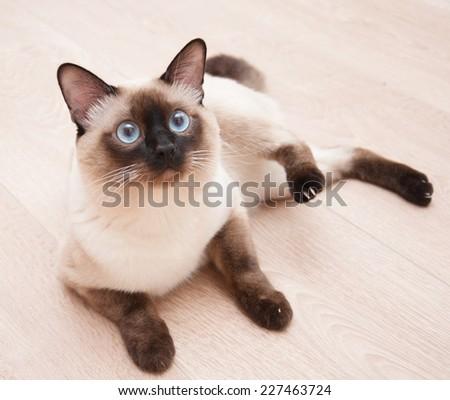 Birman cat lies on the floor - stock photo