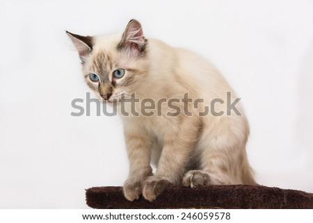 Birman cat male closeup - stock photo
