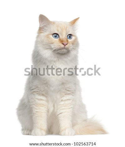 Birman cat, sitting in front of white background