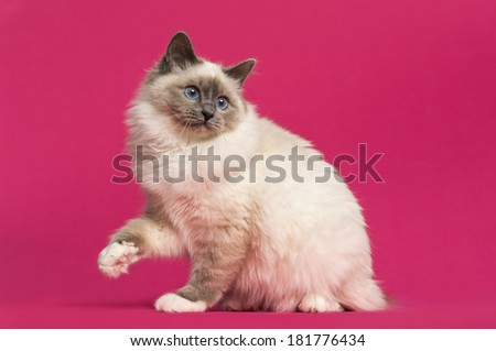 Birman cat sitting, looking back, on pink background