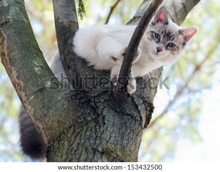 birman kitten is perching on a trunk - stock photo