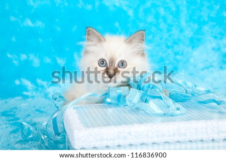 Birman kitten with blue ribbon and gift box on blue faux fur background - stock photo