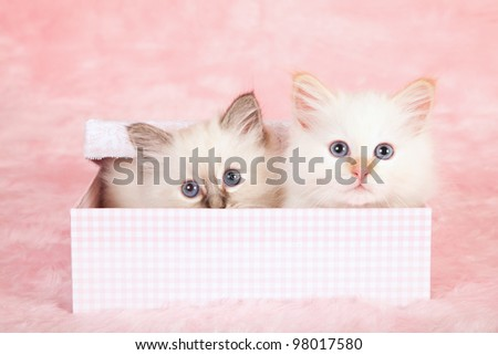 Birman kittens hiding in pink check gift box on pink background - stock photo