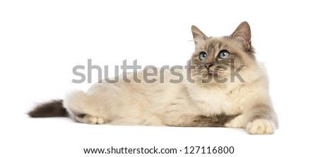Birman lying and looking up  against white background