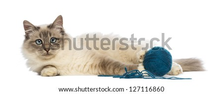 Birman lying with ball of wool and looking at camera against white background - stock photo