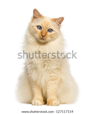 Birman sitting and looking at camera against white background - stock photo
