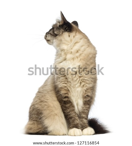 Birman sitting and looking back against white background