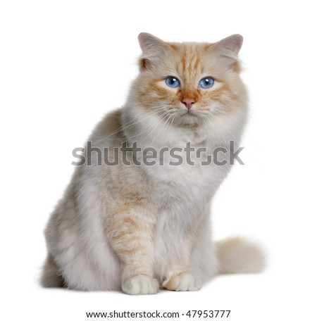 Birman (3 years old) in front of a white background