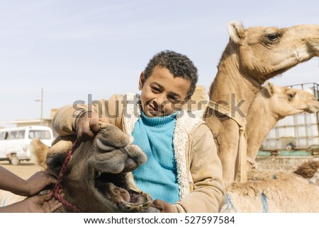 Birqash, Barqash, Imbaba, Giza Governorate, Egypt - November 18, 2016 : Young local camel salesboy open camel mouth at Camel market.