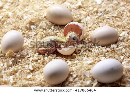 Birth of a baby chick on a farm - stock photo