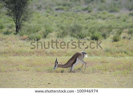 Birth pangs. Springbuck birth sequence in the kalahari, Urikaruus,Kgalagadi transfrontier park, South Africa, - stock photo