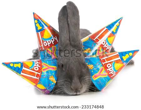 birthday bunny - giant flemish rabbit wearing four birthday hats on white background - stock photo