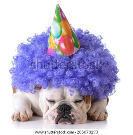 birthday dog - bulldog humanized as female with wig and hat on white background - stock photo