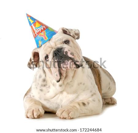 birthday dog - english bulldog wearing birthday hat isolated on white background - stock photo