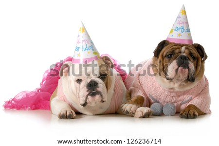birthday dog - english bulldogs wearing party clothes and birthday hats isolated on white background - stock photo