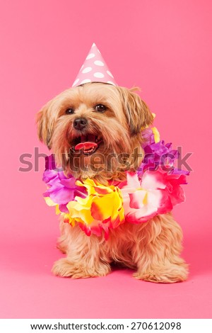 Birthday dog with chains and hat on pink background - stock photo