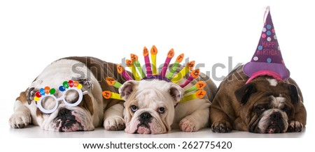 birthday dogs - three english bulldogs on white background
