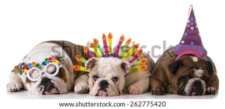 birthday dogs - three english bulldogs on white background - stock photo