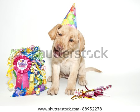 Birthday Lab puppy making a funny face and looks like she is singing happy Birthday, on a white background.