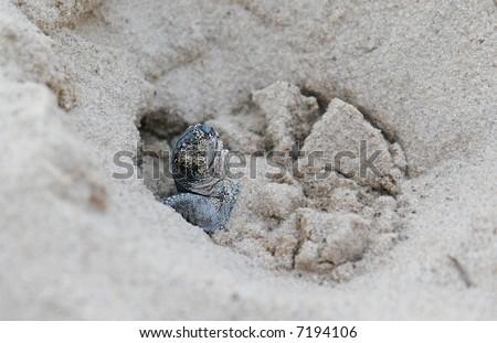 birthday: leatherback sea turtle - stock photo