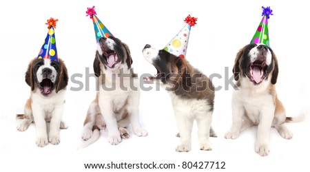 Birthday Singing Saint Bernard Dogs Celebrating - stock photo