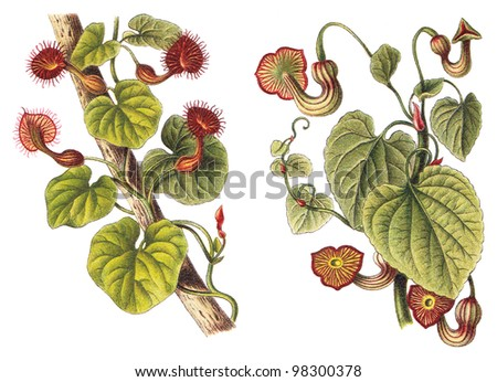 Birthworts, pipevines or Dutchman's pipes - left Aristolochia Bonplandi and right Aristolochia Sipho / vintage illustration from Meyers Konversations-Lexikon 1897 - stock photo