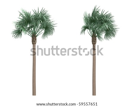 bismarckia date palm isolated on white
