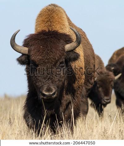 Buffalo head Stock Pho...