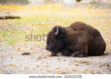 bison - stock photo