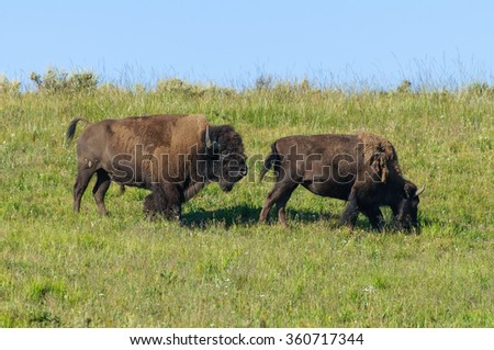 Bison Bison: Two bison mating in Yellowstone National Park - stock photo