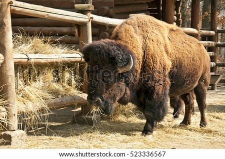 Bison breeding on farm zoo