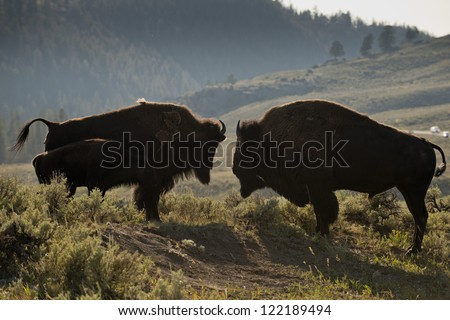 Bison Buffalo family sunset silhouette in Lamar Valley Yellowstone Wyoming - stock photo