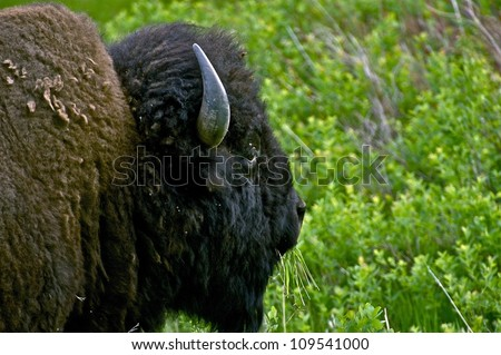 Bison / Buffalo Head Closeup. Wyoming, USA. Eating Grass American Bison - stock photo
