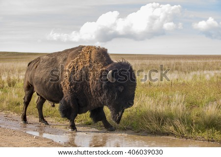 Bison buffalo in natural open wild plains setting - stock photo