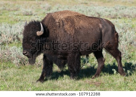 Bison (Buffalo) Walking in Wyoming Prairie - stock photo