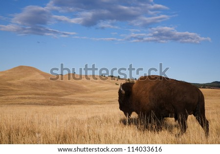 Bison / Buffalo walks off into the prairie's rolling hills; Custer State Park, South Dakota Black Hills