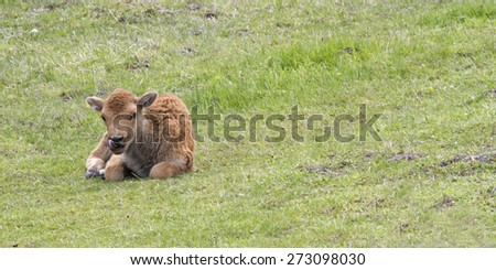Bison Calf Resting in Meadow - stock photo