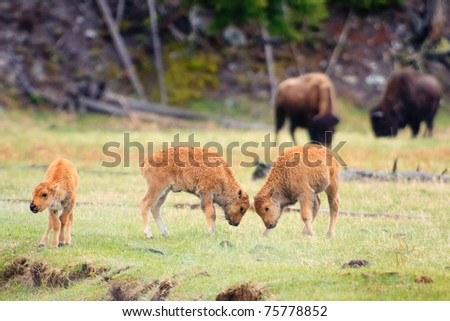 Bison calves play fighting, Yellowstone National Park. - stock photo