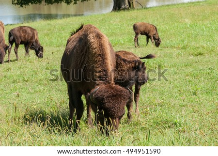 Bison cow and calf grazing.