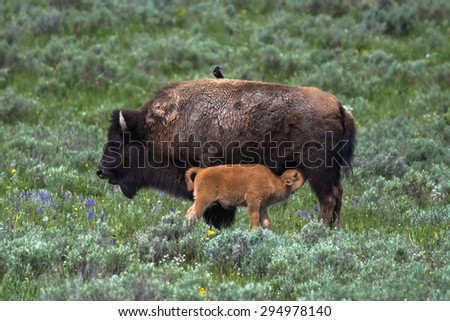 Bison cow and calf suckeling, Hayden Valley, Yellowstone National Park, Wyoming, USA