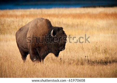 Bison during fall - stock photo