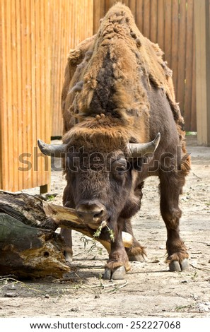 Bison during spring molting - stock photo
